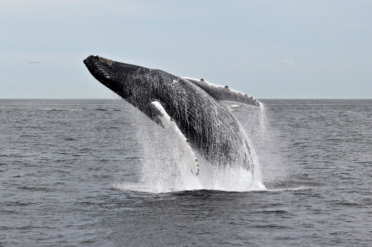 Sea Salt Charters -  Humpback Whale Spinning Breach