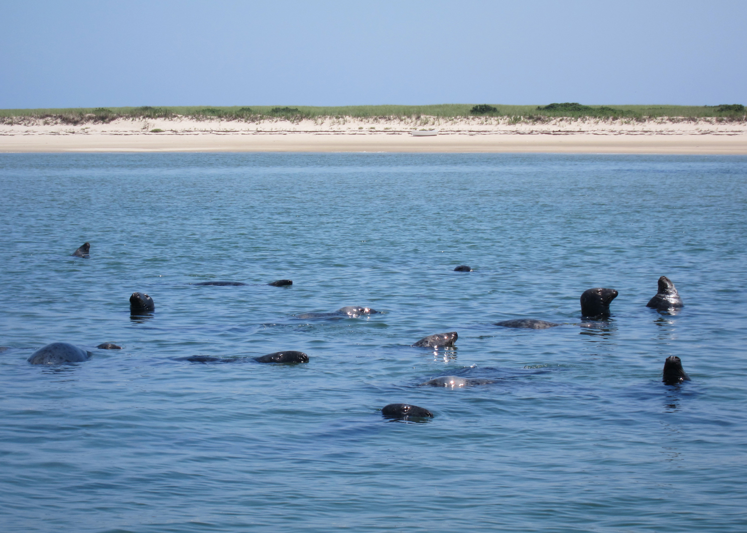 Seals - Chatham, Cape Cod