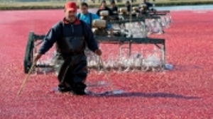 Cape Cod Cranberry Harvests | Fall 2018