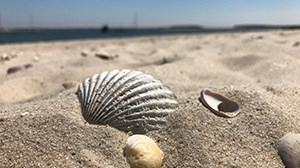 Seashells of the Cape & Islands
