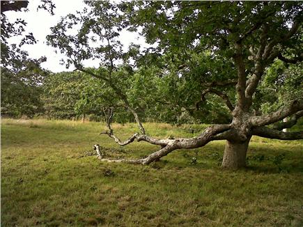 Chilmark, ACROSS FROM QUANSOO FARM!  Martha's Vineyard vacation rental - 150 year old Oaks