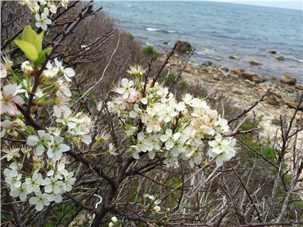 Chilmark, Menemsha Martha's Vineyard vacation rental - Beach plum blossoms in late May, on the house path to beach.