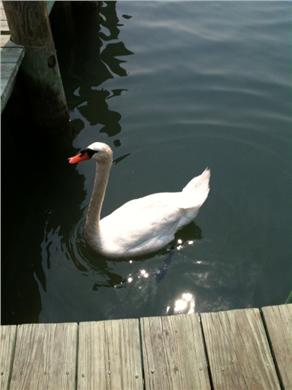 Edgartown Martha's Vineyard vacation rental - Visitor in Edgartown Harbor.