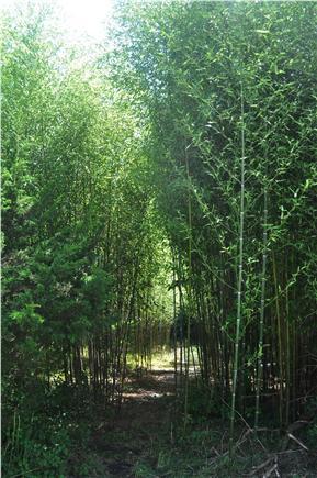 West Tisbury Martha's Vineyard vacation rental - Path Through A Bamboo Grove