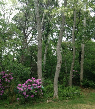 Oak Bluffs Martha's Vineyard vacation rental - Back yard in spring