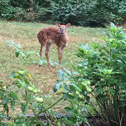 Oak Bluffs Martha's Vineyard vacation rental - Deer visiting in backyard