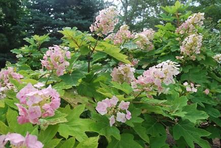 Oak Bluffs Martha's Vineyard vacation rental - Garden Beauty