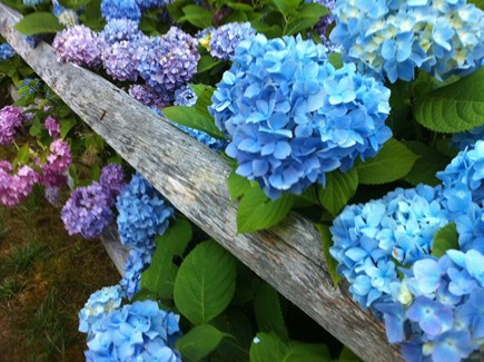 Edgartown Martha's Vineyard vacation rental - Summertime hydrangea along the front fence