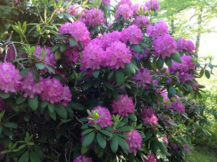 West Tisbury Martha's Vineyard vacation rental - Our magnificent rhodies!