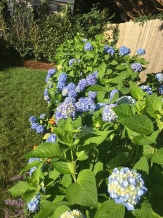 Mid-island, Naushop Nantucket vacation rental - Classic Nantucket blue hydrangeas