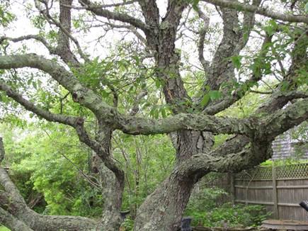 Nantucket town, Nantucket Nantucket vacation rental - Climbing tree
