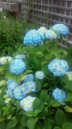 Surfside, Nantucket Nantucket vacation rental - Hydrangea in bloom all through our gardens.