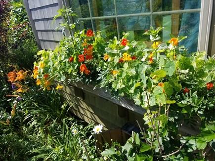Surfside, Nantucket Nantucket vacation rental - Front window box in bloom.