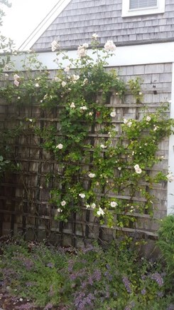 Nantucket town Nantucket vacation rental - Rose trellis